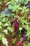 Miotacz roślina (Sarracenia purpurea) Obrazy Stock