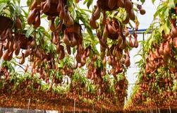 Miotacz rośliny w szklarni Zdjęcia Stock