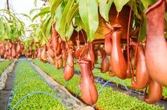 Miotacz rośliny w szklarni Obraz Royalty Free