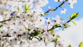 Mirabel floreciente de las flores