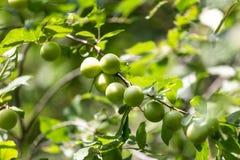 Mirabelki drzewni w ogródzie Zdjęcia Royalty Free