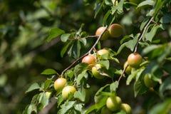 Mirabelki drzewni w ogródzie Obraz Royalty Free
