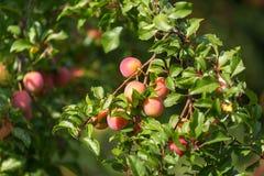 Mirabelki drzewni w ogródzie Obraz Stock