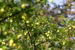 Mirabelki drzewni w ogródzie Obrazy Stock