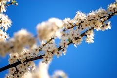 Mirabelki okwitnięcie na niebieskim niebie Fotografia Stock