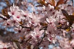 Mirabelki przycina drzewnych kwiaty Fotografia Royalty Free