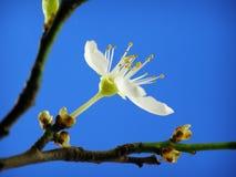 Mirabelle flower Stock Image