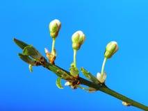 Mirabelle flower Stock Images