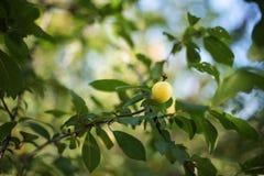 Mirabelle plum tree Stock Image