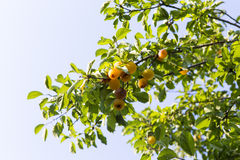 Mirabelle plum Stock Images