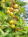 Mirabelle plum Royalty Free Stock Images