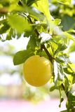 Mirabelle yellow plum fruit in its tree royalty free stock images