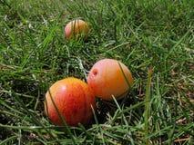 Mirabellen in gras Stock Afbeelding