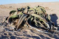 Mirabilis Вельвичии, изумительный завод пустыни, живущее ископаемый Стоковое Изображение
