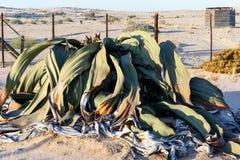 Mirabilis Вельвичии, изумительный завод пустыни, живущее ископаемый Стоковые Изображения