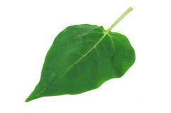 mirabilis листьев jalapa Стоковая Фотография RF