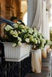 Mirabilis bianco in vaso Fotografia Stock