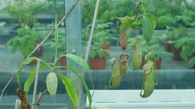 Mirabilis de Nepenthes, usine de broc commune de marais, usine carnivore tropicale attirant des insectes dans l'attrait avec dige images libres de droits