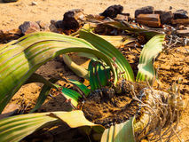 Mirabilis del Welwitschia en el desierto de Namib Imagenes de archivo