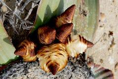 Mirabilis di Welwitschia in Angola Immagini Stock
