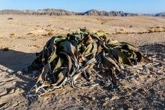 Mirabilis di Welwitschia, pianta di deserto stupefacente, fossile vivente Immagine Stock Libera da Diritti