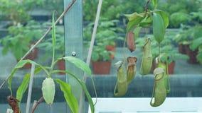 Mirabilis do Nepenthes, planta de jarro comum do pântano, planta carnívora tropical que atrai insetos na atração com digestivo filme