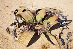 Mirabilis do Welwitschia no deserto de Namib Foto de Stock Royalty Free