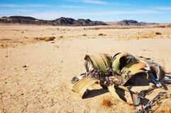 Mirabilis do Welwitschia no deserto de Namib Imagens de Stock Royalty Free