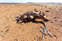 Mirabilis do Welwitschia, planta de deserto surpreendente, fóssil vivo Foto de Stock Royalty Free