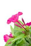 Mirabilis hermoso de la flor tres Imagenes de archivo