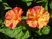 Mirabilis jalapa. Garden plant whos flowers open in late afternoon Royalty Free Stock Images