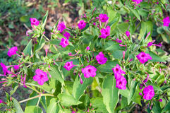 Mirabilis jalapa - Closeup of the peruvian flower, Mirabilis jal Royalty Free Stock Photography