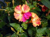 Mirabilis jalapa Cztery O ` zegarów fragrant kwiatu Fotografia Royalty Free