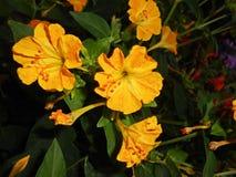 Mirabilis jalapa Cztery O ` zegarów fragrant kwiatu Zdjęcie Stock