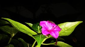 Mirabilis jalapa flower Stock Photo