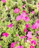 Mirabilis jalapa flower Stock Image