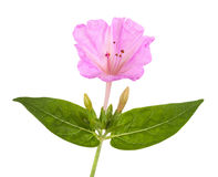 Mirabilis jalapa Stock Photos