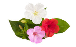 Mirabilis jalapa Royalty Free Stock Images