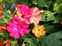 Mirabilis jalapa Four O`Clocks fragrant flowers. On dark background Royalty Free Stock Image