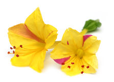 Mirabilis jalapa lub sandhya moni kwiat Zdjęcie Royalty Free