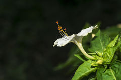 Mirabilis jalapa or Peruvian wonder Stock Photo