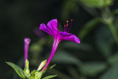 Mirabilis jalapa or Peruvian wonder Stock Photos