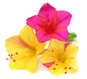 Mirabilis jalapa or sandhya moni Royalty Free Stock Photos