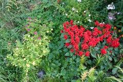 Mirabilis jalapa und salva Blumen im Sommer arbeiten im Garten stockfoto