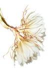 Mirabilis jalapa on white Royalty Free Stock Images