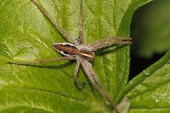 mirabilis pepiniery pisaura pająka sieć Zdjęcie Stock