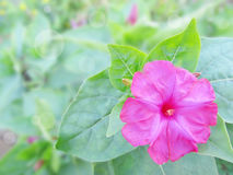 Mirabilis rosado en un jardín Imagen de archivo libre de regalías