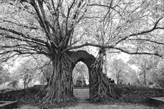 The miracle of the ancient Pho or Bodhi tree Ficus religiosa t Royalty Free Stock Photo