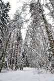 Beautiful winter forest after the fallen snow. stock photo