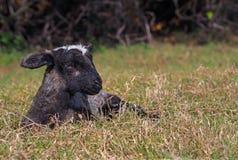 Miracle of birth – newborn black lamb Stock Images